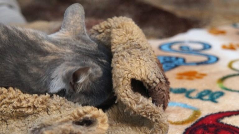 Une chatte, se prénommant Ciccic, est en train de dormir sur son doudou Pattacrête, création de Gerogia