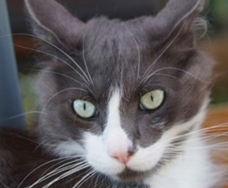 Phéliz, croisé Maincoon, chat recueilli par Georgia