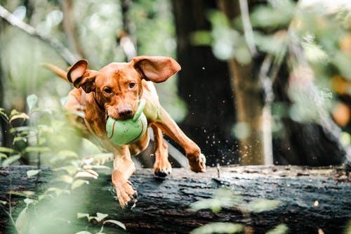Photo d'un chien courant avec sa balle