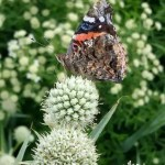 Red admiral on rattlesnake master. Photo by Debbie Roos.