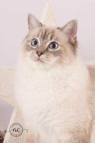 la perle des anges chaton ragdoll normandie caen calvados osmose et olympe du reve a madilane nirvana du jardin de dolly ollywood 11