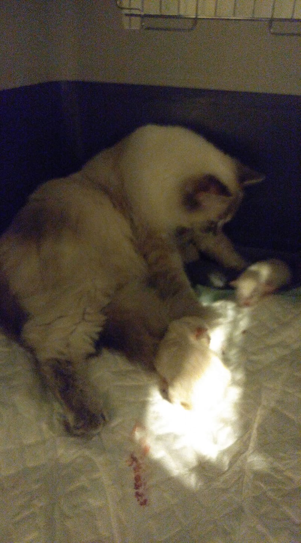 chatons chatterie la perle des anges ragdoll normandie calvados caen 3