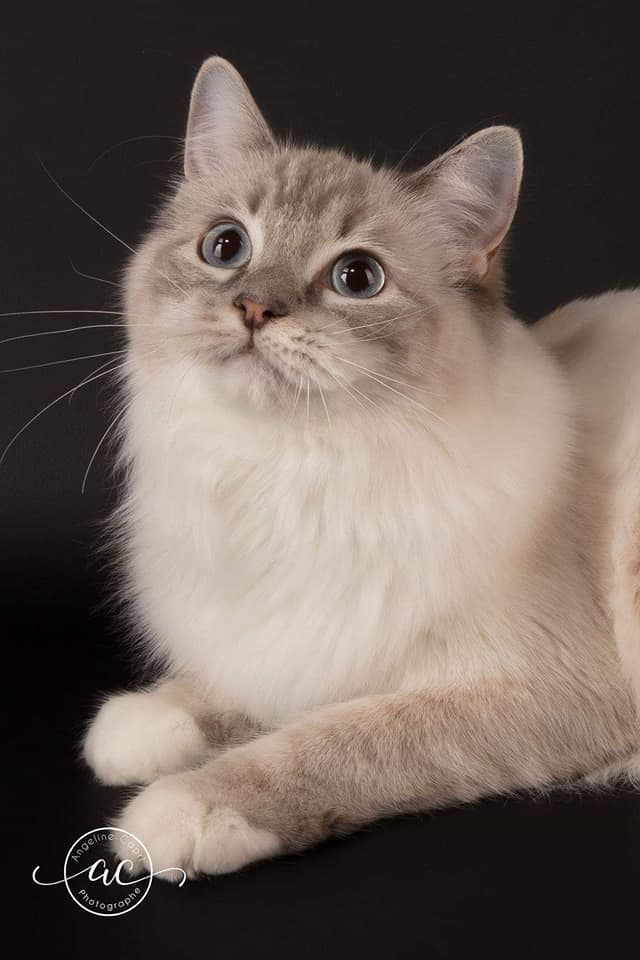 chatterie la perle des anges chatons a adopter ragdoll normandie caen calvados 1