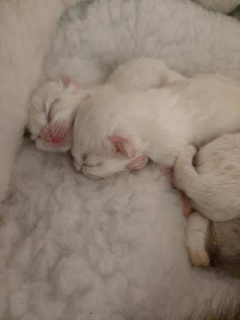 chatterie la perle des anges chatons a adopter ragdoll normandie caen calvados 6