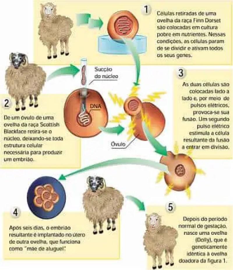 A primeira ovelha clonada