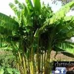 Uma praga letal pode levar a extinção da banana