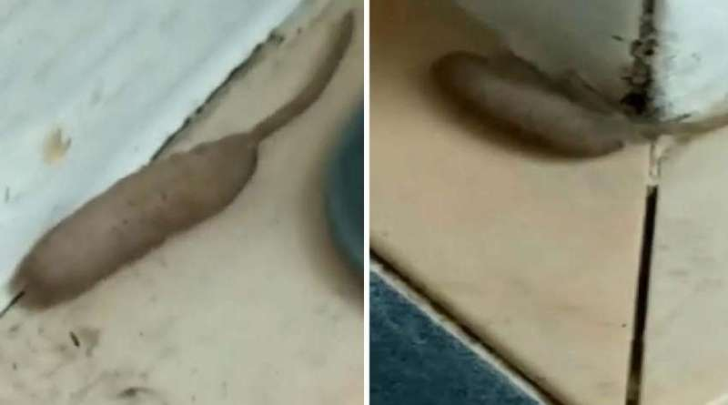 O verme da cauda de rato