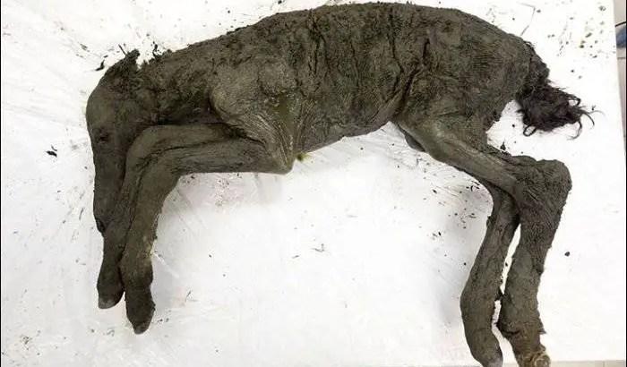 Um cavalo de 3 meses perfeitamente preservado