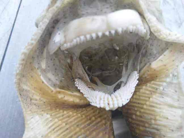 peixe cartilaginoso intimamente relacionado com os tubarões