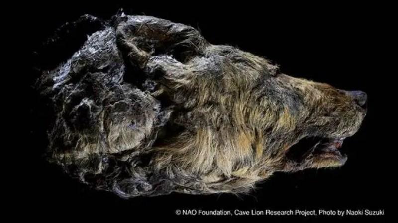 A cabeça de um lobo gigante com o cérebro quase intacto