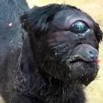 A Cabra Cyclops existe e vive na Índia
