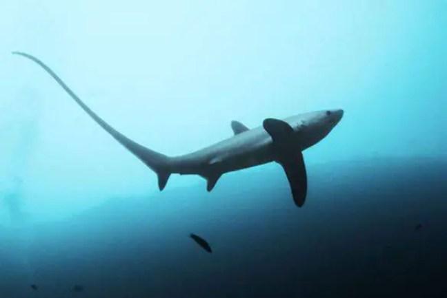 Tubarão Raposa (Alopias Vulpinus)
