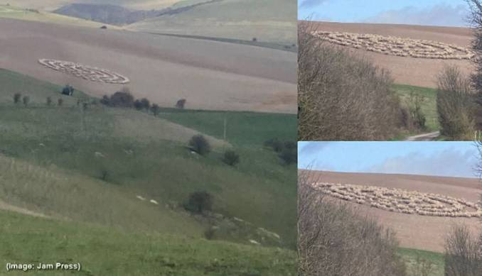 Um ciclista na Inglaterra captura o momento em que ovelhas fazem estranhas figuras no campo.