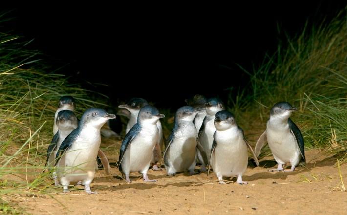 Phillip Island Nature Park, Phillip Island, VIC