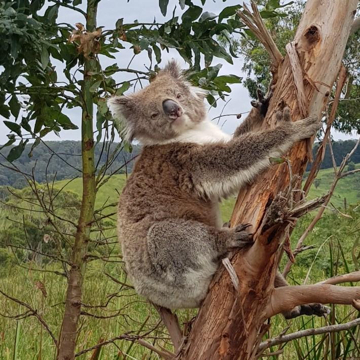 koala-australie