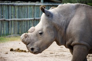 Our Only Male Northern White Rhino, Sudan, is Gone