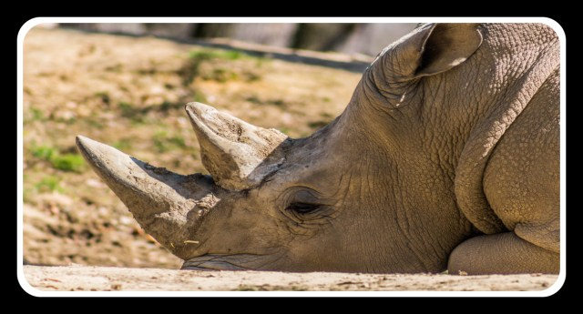 Northern White Rhinos are almost extinct.