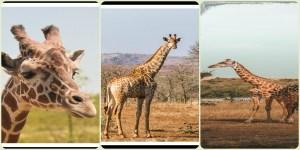 Giraffe : The Tallest Animal In The World