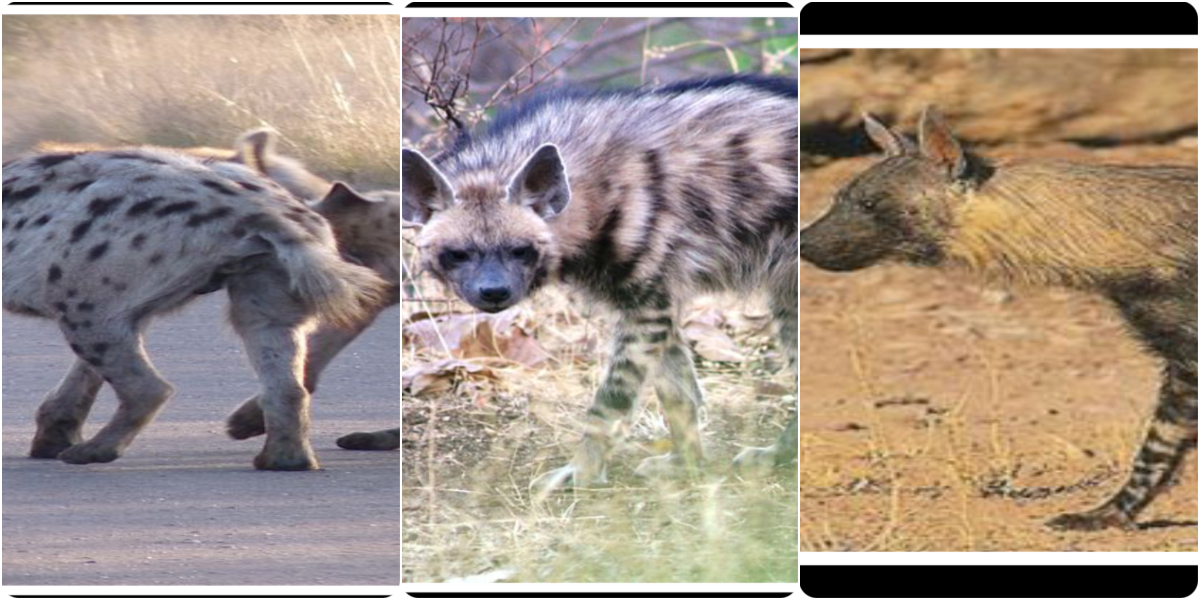 What do you know about Hyenas?