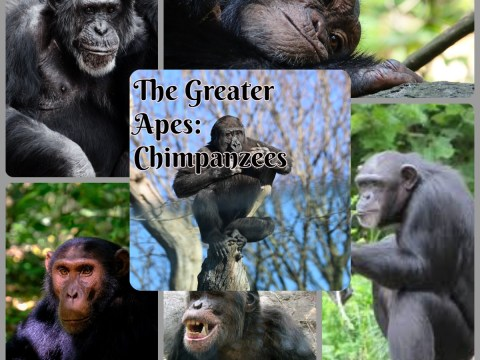 The Greater Apes: Chimpanzees