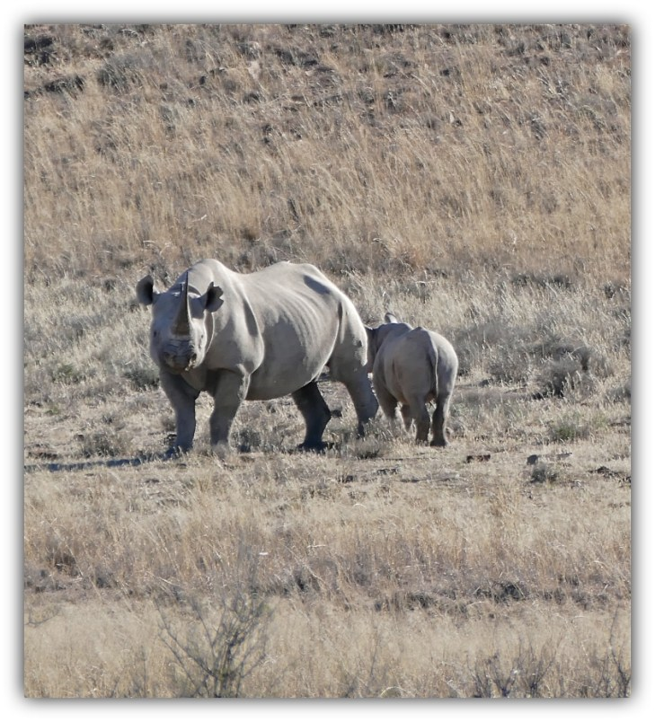 Black Rhino with her calf