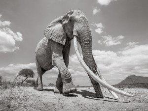 Celebrating Queen of Elephants (Kenya)