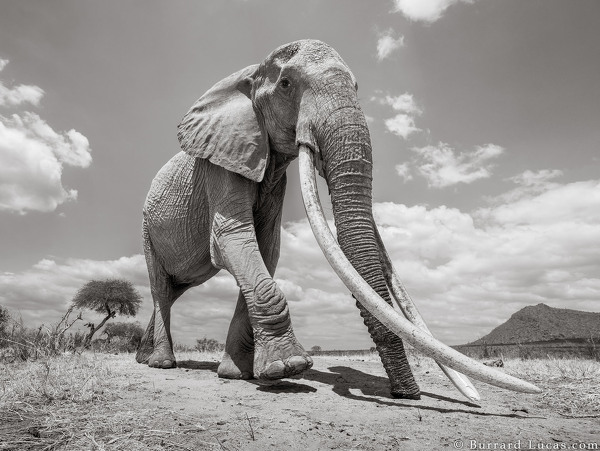 Elephant Queen Photo courtesy of Burrard-Lucas (WILL BURRARD-LUCAS PHOTOGRAPHY)
