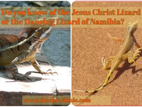 Do you know of the Jesus Christ Lizard or the Dancing Lizard of Namibia?