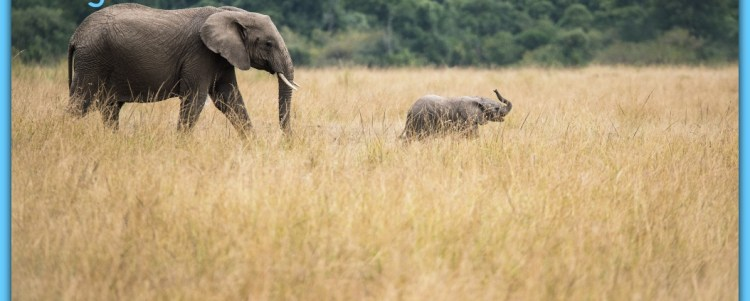 Elephants Trying to Keep Up with their Migration Movements