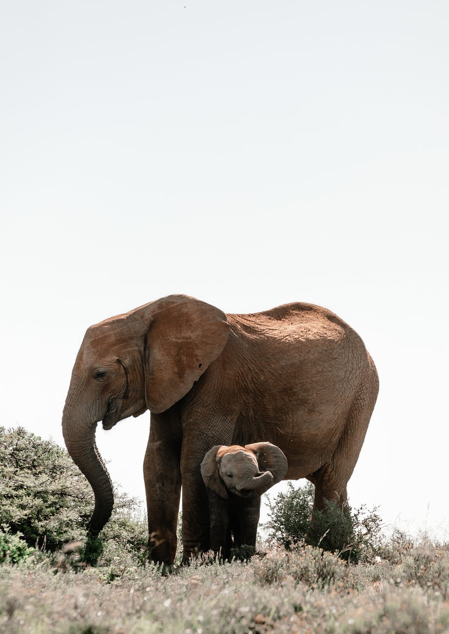 adult elephant standing above baby elephant on pasture