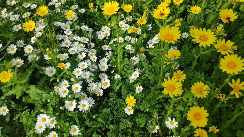 פרחים בשמורת חוף השרון