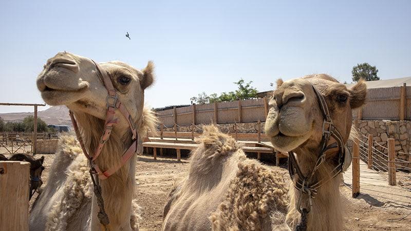 טיול גמלים בכפר הנוקדים