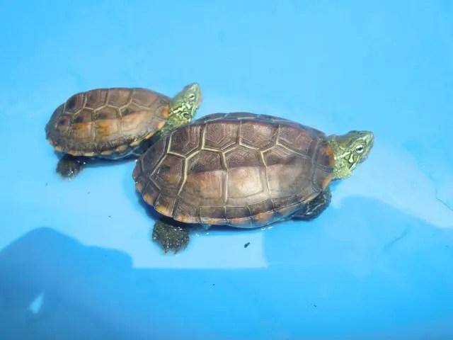 オオアタマクサガメの子亀