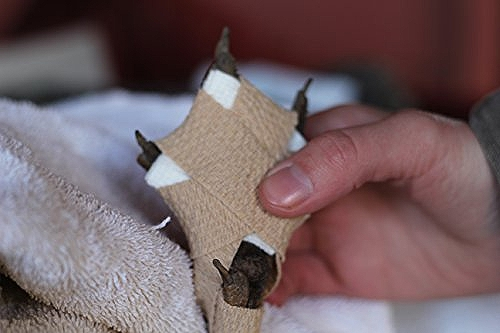 鶏の趾瘤症(バンブルフット)