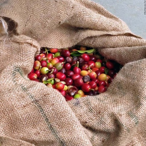 Coffee Cherries at Greenwell Farms - Kealakekua, HI