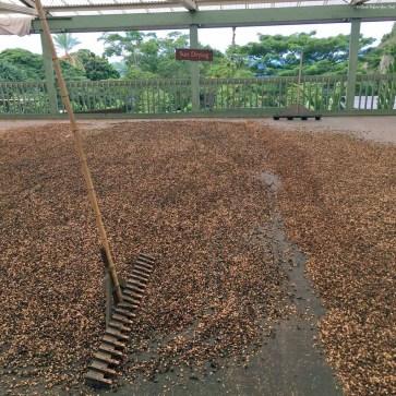 Coffee cherry beans drying at Holualoa Kona Coffee Company - Holualoa, HI