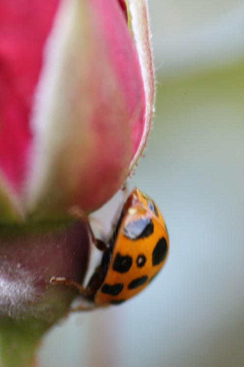 Ladybird on a rosebud