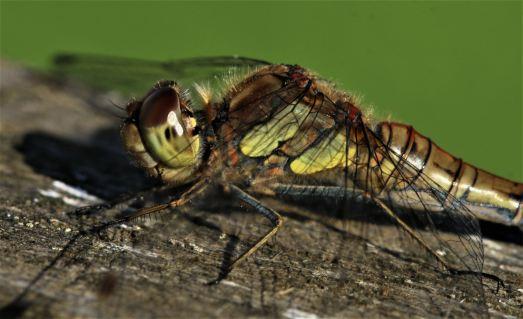 Dragonfly Stoke on Trent