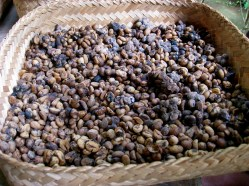 Kopi Luwak coffee beans bali indonesia