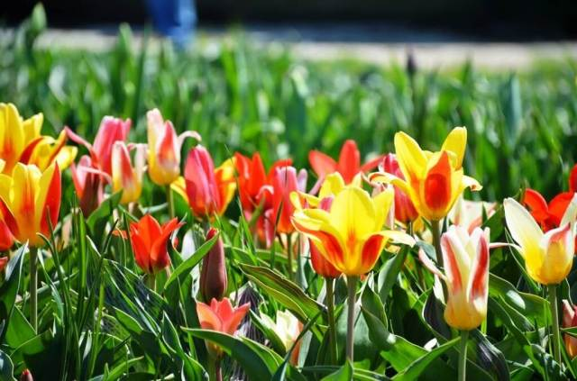 Holland Tulips - Weekend Trips From Chicago