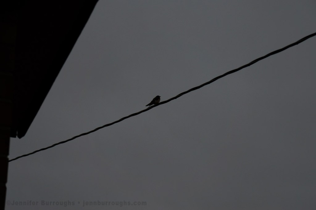 silhouette of bird on a wire - copyright jennifer burroughs