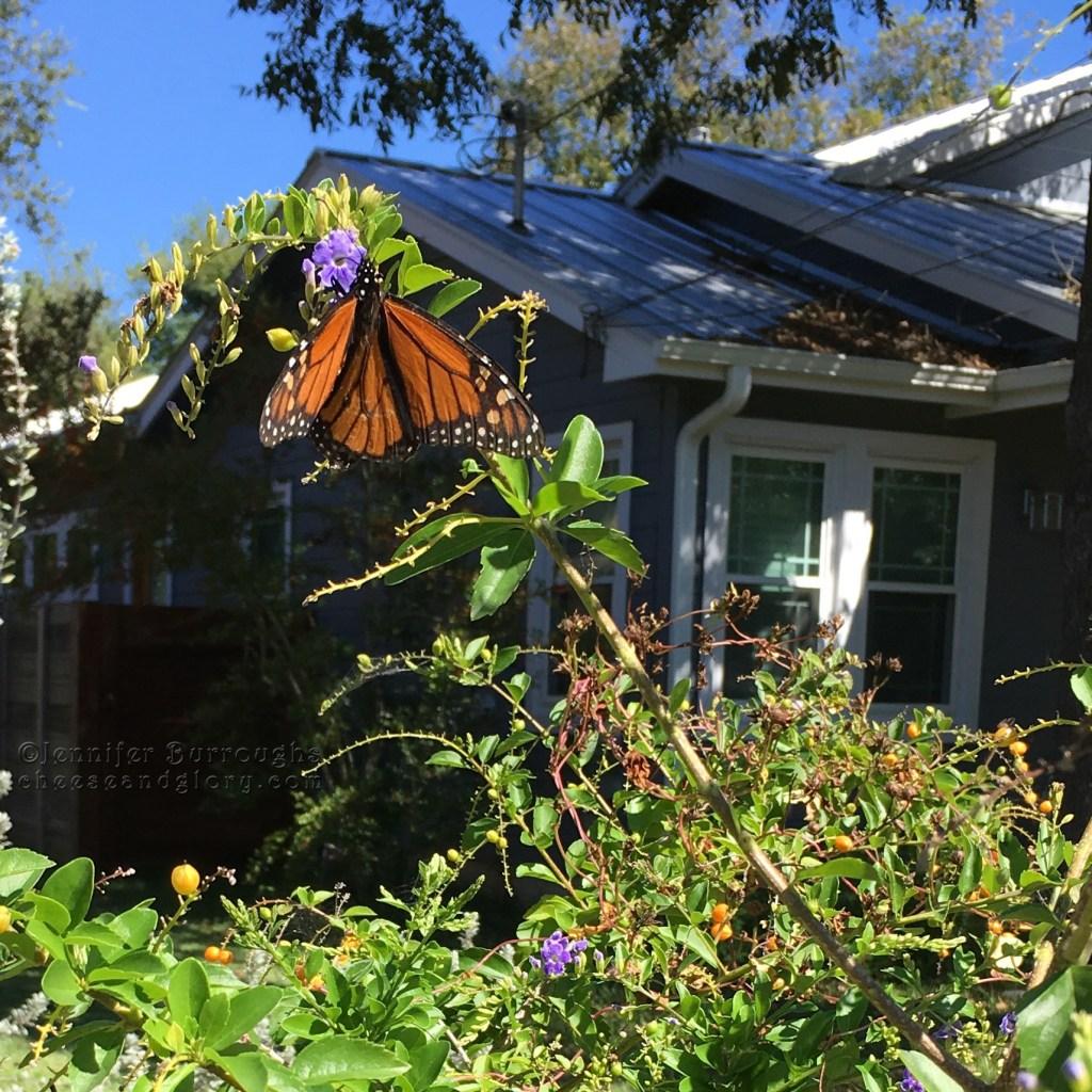 monarch butterfly on flowers - jenn burroughs - cheeseandglory.com