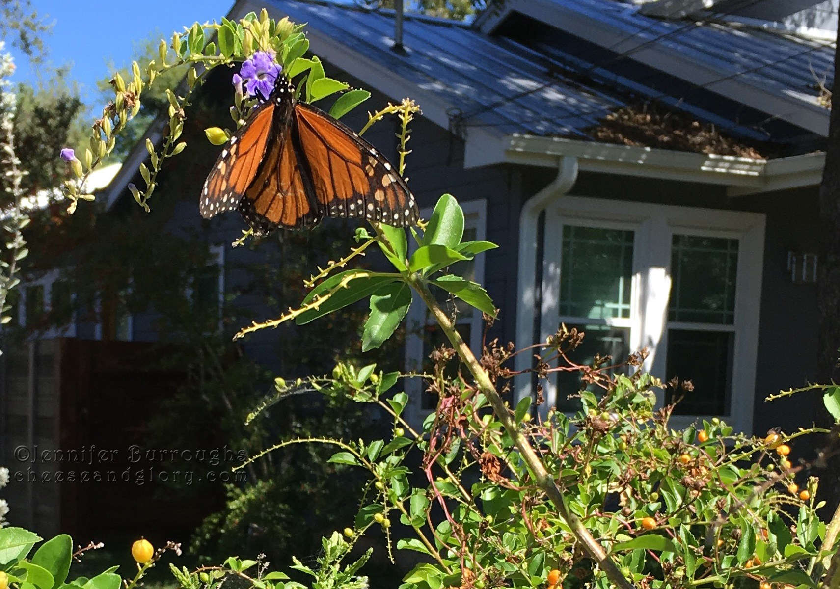 monarch butterfly on flowers - jenn burroughs - cheeseandglory.com