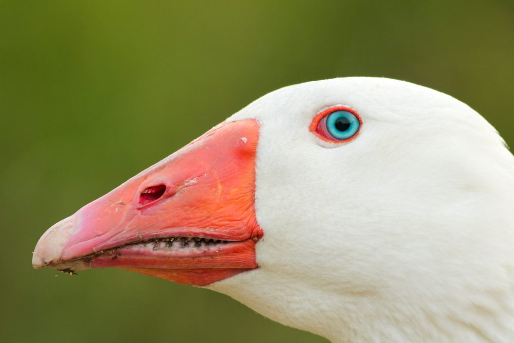 close up of side of duck face, white with orange bill, blue eye, green background