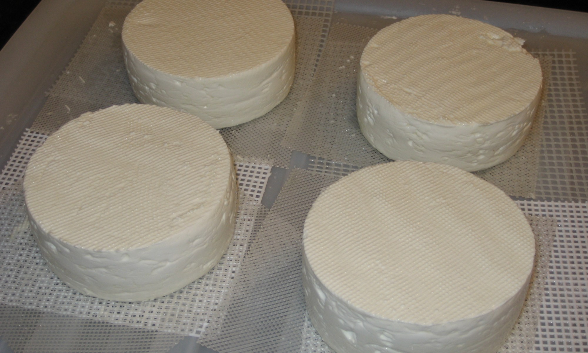Four 10 cm diameter Camemberts after dry salting.