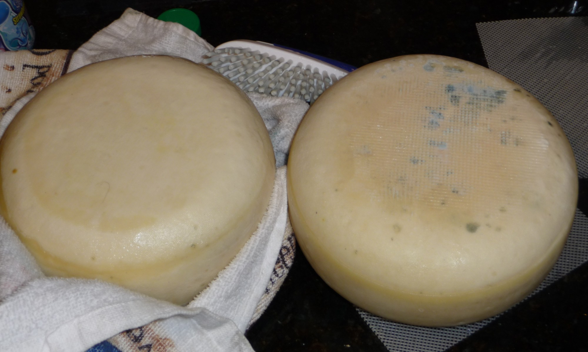 Two 4 pound Gouda's at 30 days age with oiled rinds, one cleaned of mold, second with blue surface mold due to improper aging humidity.