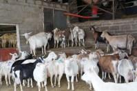 Girls queuing to being milked