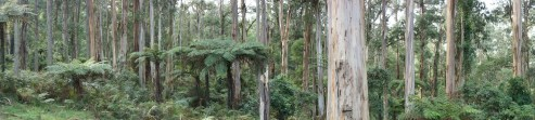 Rainforest in the Dandenongs