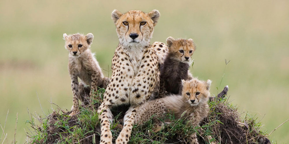 homepage cheetah conservation fund