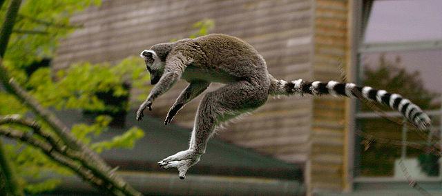 640px-Katta_Lemur_catta_jumping.jpg?resi